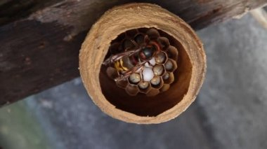Hornet feed their larvae — Stock Video