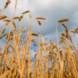 Wheat field ready for harvest — Stock Photo #50490811