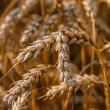 Wheat field ready for harvest — Stock Photo #50490821
