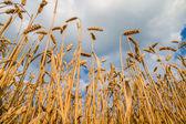 Champ de blé prête pour la récolte — Photo