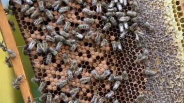 Bees on honeycomb — Stock Video