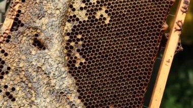 Api su nido d'ape — Video Stock