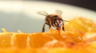Bee gathering honey and nectar — Vídeo Stock