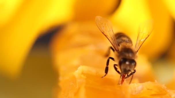 Nectar et rassemblement abeille miel — Vidéo