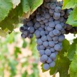 Bunch of wine grapes — Stock Photo