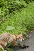 Red fox — Stockfoto