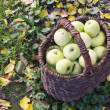Apple harvest - Stock Photo
