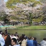 stagione di fioritura ciliegi a tokyo — Foto Stock