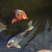 Hungry carp fish — Stock Photo