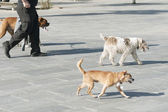 Dog walker — Stock Photo