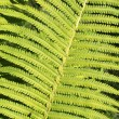 Forest fern — Stock Photo