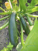 Squash ripening — Stock Photo