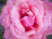 Rose closeup — Photo