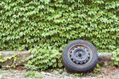 Ivy wall and old wheel — Stock Photo