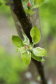 Apple tree bud — Stock Photo