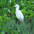 White Cattle Egret in Maui Hawaii - Stock Photo