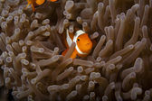 Nemo is hiding — Stock Photo