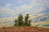 Spruces in Bieszczady Mountains — Stock Photo