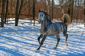 Grey galloping horse. — Stock Photo