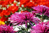 Beautiful pink chrysanthemums — Stock Photo