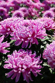 Beautiful pink big chrysanthemums — Stock Photo