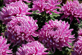 Beautiful purple big chrysanthemums — Stock Photo