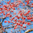 Rime on winter  tree with red berries — Stock Photo