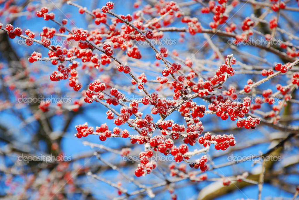 Cencellada en rbol de invierno con frutos rojos foto de for Arbol de frutos rojos pequenos