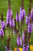 Liatris spicata flowers in the garden — Stock Photo