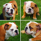 Cute english bulldogs collage — Stock Photo