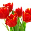 Stock Photo: Red tulips in sunlight isolated on white