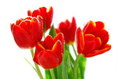 Red tulips in sunlight isolated on white — Stock Photo