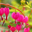 Bleeding Heart flowers ( Dicentra spectabilis) — Stock Photo