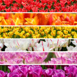 Rainbow colors tulips collage — 图库照片