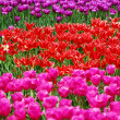 Background with tulip fields in different colors — Stock Photo