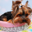 Lovely Yorkshire dog lying in the basket — Stock Photo