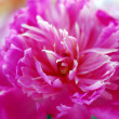 Beautiful peony in the garden — Foto Stock