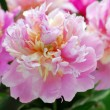 Beautiful peony in the garden — Stock Photo