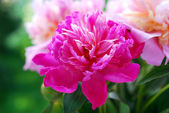 Beautiful peony in the garden — Stock Photo