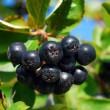 Stock Photo: Branch of black chokeberry fruits in the garden