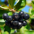 Branch of black chokeberry fruits in the garden — Stock Photo #30498073