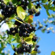 Branch of black chokeberry fruits in the garden — Stock Photo