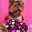 Lovely yorkshire dog in heart shape box — Stock Photo
