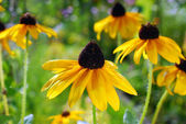 Beautiful yellow rudbeckia flowers in the garden — Stock Photo