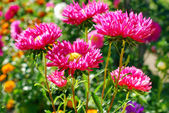 Beautiful aster flowers in autumn garden — Stock Photo