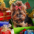 Stock Photo: Yorkshire dog in christmas gift box