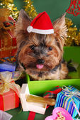 Yorkshire dog in christmas gift box — Stock Photo
