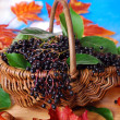 Fresh elderberry fruits in the basket  — Stock Photo