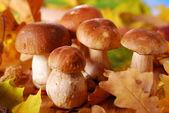 Fresh cep (porcini ) mushrooms — Stock Photo