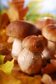 Fresh cep (porcini ) mushrooms — Stock Photo